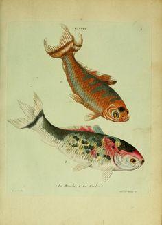Histoire naturelle des dorades de la Chine, Edme Billardon-Sauvigny, engravings by F.N. Martinet, 1780.