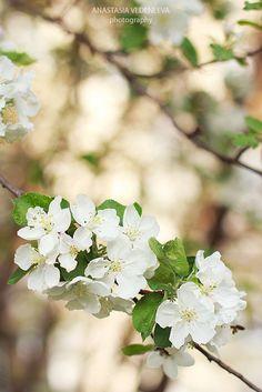 Вlooming apple tree/ Цветущая яблоня. #flower #blossom #spring #цветы #весна