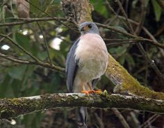 Spot-tailed Sparrowhawk (Accipiter trinotatus) by Phil_Tizzard.
