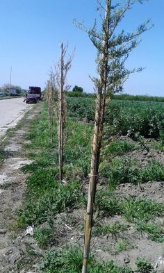 Qualiano, arrivano gli alberi sul percorso agro-ciclo-pedonale