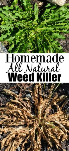 Homemade all natural inexpensive weed killer made using vinegar, dish soap and salt.