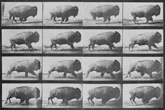 """Sequence of a buffalo (American bison) galloping. Photos taken by Eadweard Muybridge (died first published in 1887 at Philadelphia (Animal Locomotion). Wall Art Prints, Poster Prints, Canvas Prints, Canvas Art, Framed Prints, Eadweard Muybridge, Run Cycle, American Bison, American Indians"