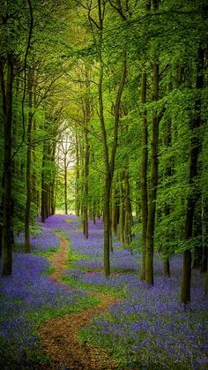 Bluebell Cathedral, Ashridge, England (by Old-Man-George on Flickr)