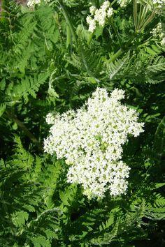 Sødskærm, også kaldet aniskål eller spansk kørvel, er en flerårig, anisduftende krydderurt med en sødlig, lakridsagtig smag. Stort set hele planten er spiselig: Blomster, stængler, blade, umodne såvel som modne frø samt rødder. Samtidig er det en smuk plante, der også dyrkes for sin prydværdi. Det fine løv er meget velegnet i buketter, hvor det oven i købet tilfører en herlig duft. Sødskærm kan sås stort set hele året.