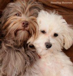 Miggy & Zuzu <3 Havanese Puppy Love <3  www.havahughavanese.com