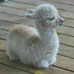 """Cute Baby Llama.  """"Adorable Baby Animals"""""""