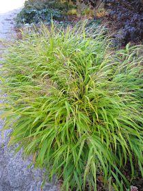 Golden Forest Grass For Impact Ornamental Grasses For Shade, Perennial Grasses, Perennials, Hakone Grass, Rockery Garden, Coral Bells Heuchera, Shade Grass, Carpentry Projects, Holiday Lights