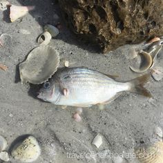 It didn't dawn on me till yesterday that sea life are victims of #hurricanematthew as well? Lots of dead fish on the #gulfofmexico #Florida coadt which only had a small impact from the storm