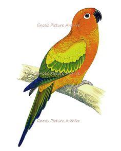 Wall Hanging Vintage Bird Print Tropical Parrot No.10 Orange Yellow Green Antique Bird Print Wall Decor Art Print 8x10 GnosisPictureArchive