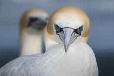 シロカツオドリの強い眼差し(ニュージーランド)