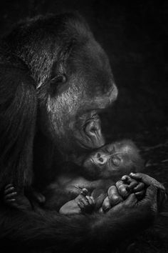 Goodnight Kiss from a mother gorilla to her sweet baby Primates, Mammals, Animals Kissing, Cute Baby Animals, Beautiful Creatures, Animals Beautiful, Animal Original, Foto Picture, Kiss Photo
