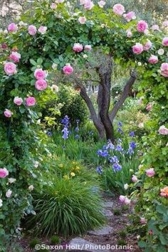 Pink climbing rose on arch trellis over . Pink climbing rose on arch trellis over path in country garden in California Napa country garden