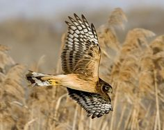 Northern Harrier 10/29/12 Swooped by neighbor's feeder, then stayed in alley for a while.