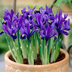 Iris Reticulata Pixie - J. Parker's