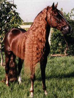 Paso Fino Puertorriqueno | Poesias y canciones de caballos P.R.