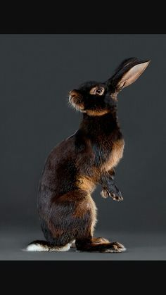 Isnt this belgian hare just gorgeous.