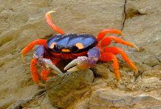 Moon or Halloween Crab in Nicaragua--awesome colors Halloween Crab, Life Aquatic, Water Life, Mundo Animal, Ocean Creatures, Beautiful Ocean, Fauna, Ocean Life, Ocean Art