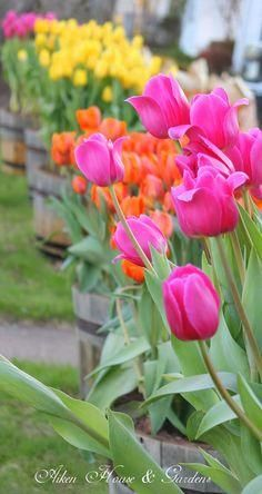 Bright yellow, orange and pink tulips