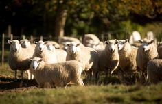 Ahuwhenua finalist Te Hape B runs 31,000 stock units, 62 per cent of them Perendale cross sheep