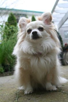 So floofy. Must pet now. #chihuahua #dog