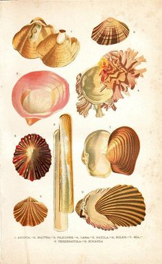 1891 Mollusks Print Sea Shells Sea Snails by carambas on Etsy, $16.00