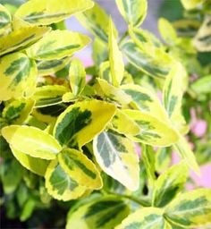 http://www.dreviny.sk/123-brslen-fortuneov-smaragd-a-zlato-emerald-and-gold-emerald-n-gold-euonymus-fortunei-emerald-and-gold-emerald-n-gold-/