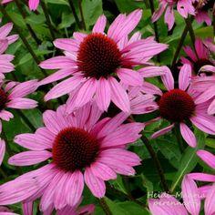 """Isot perennat Punahattu ECHINACEA purpurea """"Magnus"""" ryhmäperennat Annual Plants, Perennials, Garden, Cottage, Garten, Lawn And Garden, Cottages, Gardens, Gardening"""