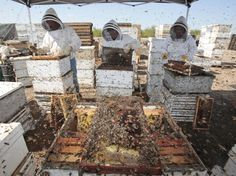 Are Agriculture's Most Popular Insecticides Killing Our Bees?  .........Workers clear honey from dead beehives at a bee farm east of Merced, Calif.