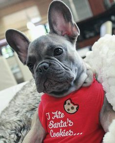 """""""I ate Santa's cookies""""... """"and I regret nothing!"""", """"except maybe that lump of Coal in my stocking"""", @littleenzo_the_frenchie, French Bulldog Puppy"""