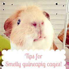 3 Tips to tackle a smelly guinea pig cage