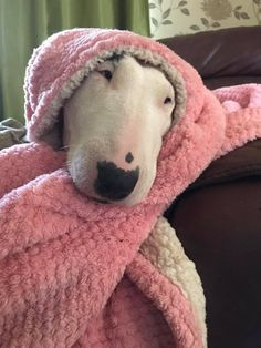 Cute loved-up Bully in her pink blanky.