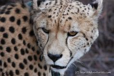 It was amazing to hear its vocabulary of rumbling purrs and sharp bark-meow cries and watch as this amazing animal acts on its natural instincts. #tenikwawildlifeawarenesscentre #visitsa #southafrica #travelblogger #travelblog #travel #amazing #cheetah by worldadventurists