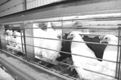 Manitoba poultry industry to move away from traditional caging (Winnipeg Free Press)
