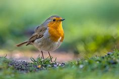 Buy Robin hopping on the ground by CreativeNature_nl on PhotoDune. Red robin (Erithacus rubecula) hopping on the ground in an ecological garden. This bird is a regular companion during. Red Robin, Robin Bird, Cute Animal Photos, Bird Pictures, Wild Life, Beautiful Birds, Animals Beautiful, Animals And Pets, Cute Animals