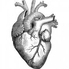 PublicDomainVectors.org-Vector de dibujo de corazón anatómico. Gráficos de blanco y negro del órgano interno de dibujo.