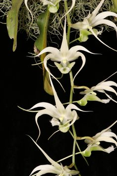 Erasanthe henrici [Formerly Aeranthes henrici] - From Madagascar - Grown by Cynthia Hill