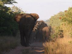 Heavy Traffic, Phinda Game Reserve