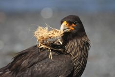 """Caracara (locally known as """"Johnny Rook"""")"""
