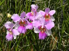 """Vanda Miss Joaquim, Singapore's national flower.  """"In Singapore, tourists can find the flower at the National Orchid Garden at the Botanic Gardens and, if it is in bloom, at the tombstone of Agnes Joaquim at the Armenian Church along Hill Street."""" ~ Source: http://infopedia.nl.sg"""