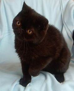 black exotic shorthair - Google Search
