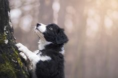Nugat - Nugat, my beloved border collie.   More dog pictures: https://www.facebook.com/SnapDogPL/