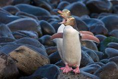Yellow-eyed Penguin (Megadyptes antipodes), Boulder Beach, Otago Peninsula, New Zealand