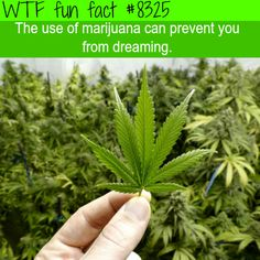 Marijuana can prevent you from dreaming WTF fun facts
