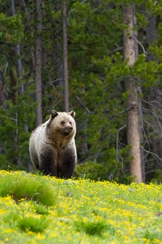 Grizzly bear, by Bryant Aardema. Source: flickr/ wildnature