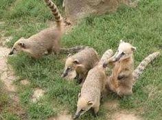 Koatis au parc du Reynou #Limousin