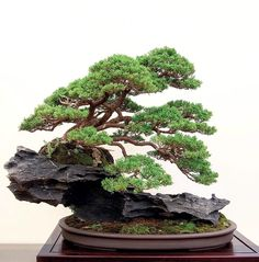 in rock - Bonsai in rock -trees sculpture Bonsai in rock - Bonsai in rock - It's Kokufu Time! Buy Bonsai Tree, Bonsai Tree Care, Bonsai Tree Types, Indoor Bonsai Tree, Mini Bonsai, Bonsai Plants, Bonsai Garden, Succulents Garden, Air Plants