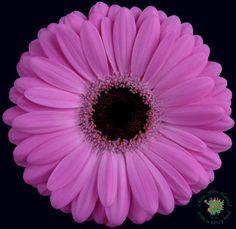 Gerbera Crush from Rosa Flora https://www.rosaflora.com/products