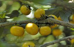 Malaysian Persimmon: Diospyros maritima [Family: Ebenaceae]