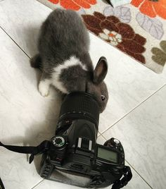 Curiosity at play  | Checking out @deechelsee Nikon camera MBR #rabbit #bunnies…