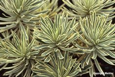 Euphorbia characias subsp. wulfenii 'Emmer Green' - Cerca con Google